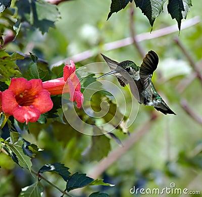 Free Hummingbird (3) Royalty Free Stock Photo - 3040145