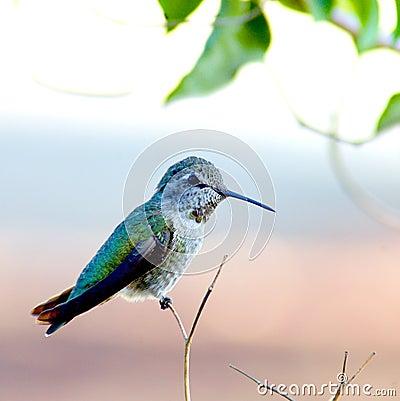 Free Hummingbird Royalty Free Stock Photography - 30547