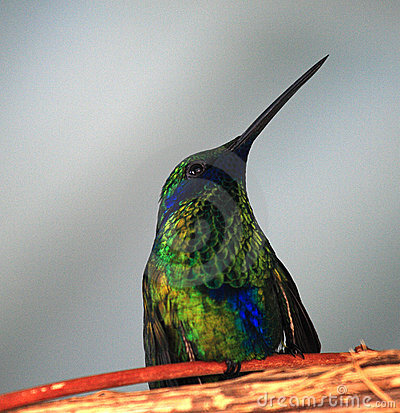 Free Hummingbird Royalty Free Stock Photography - 6078147