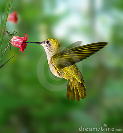 Free Hummingbird Stock Photo - 773090