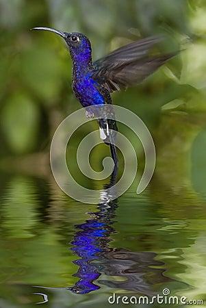 Free Hummingbird Royalty Free Stock Photography - 7791247