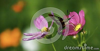 Hummingbird Clearwing Moth Feeding on Flowers