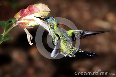 A Hummingbird collecting nectar