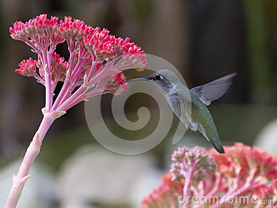 Hummingbird Dessert