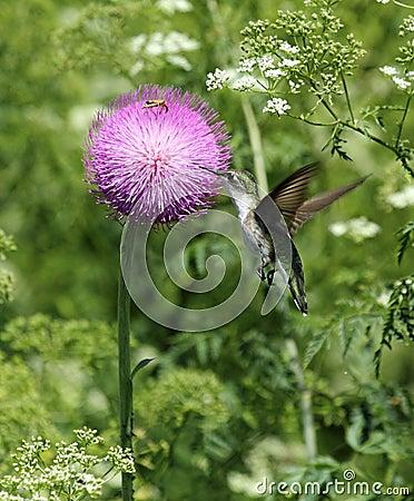 Free Hummingbird Feeding On Thistle Blossom Royalty Free Stock Images - 25218999