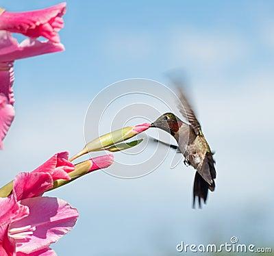 Hummingbird feeding on a pink Gladiolus flower