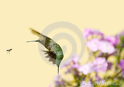 Hummingbird fleeing wasp.
