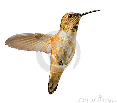 Hummingbird in flight isolated