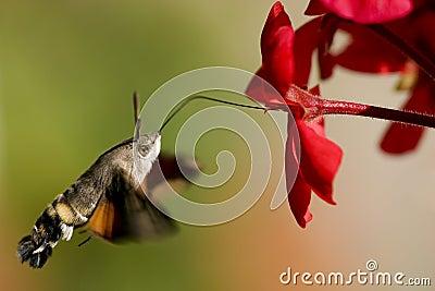 Hummingbird Hawk-moth geranium nectar
