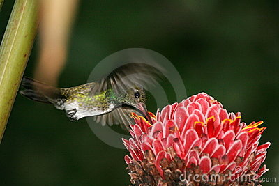 Hummingbird hovering 2