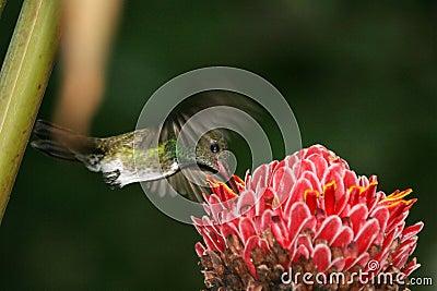 Hummingbird hovering 2
