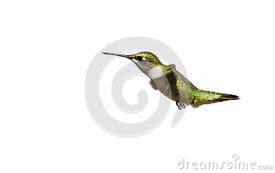 Hummingbird, isolated.