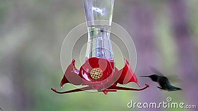 Hummingbird je cukrową wodę od dozownika zdjęcie wideo