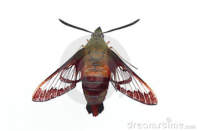 Hummingbird Moth - Isolated