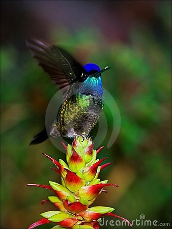 The hummingbird in movement.
