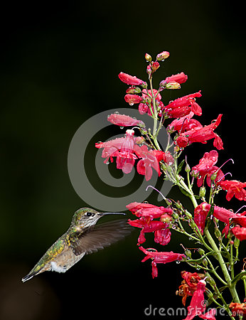 Hummingbird moves to flower.