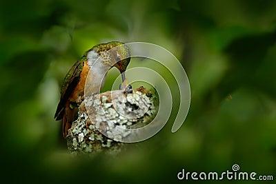 Hummingbird nest with young. Adult hummingbird feeding two chicks in the nest. Scintillant Hummingbird, Selasphorus scintilla Stock Photo