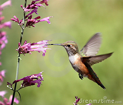 Hummingbird on pentstemon