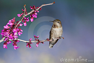 Hummingbird On Perch