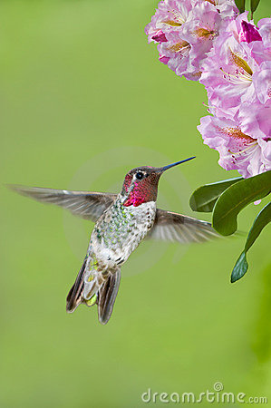 Hummingbird and Rhododendrons