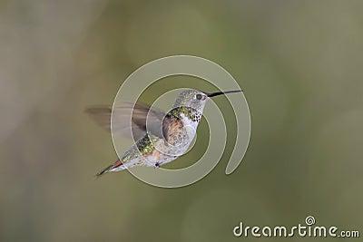 Hummingbird ryży rufus selasphorus