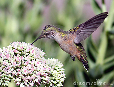 Hummingbird on sedum