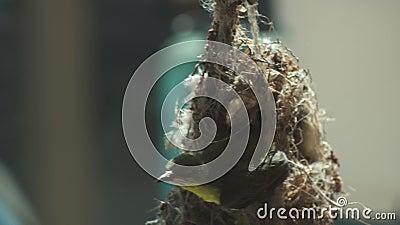 Hummingbird sitter på ett bo ovanifrån och har dragit ut ett huvud stock video