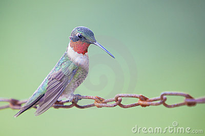Hummingbird sitting on chain