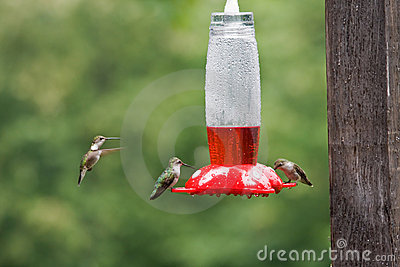 Hummingbirds at the Bird Feeder