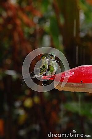 Hummingbirds on feeder