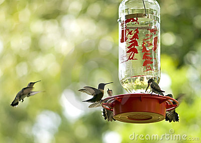 Hummingbirds feeding