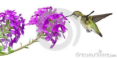 Hummingbirds feeds on a verbena