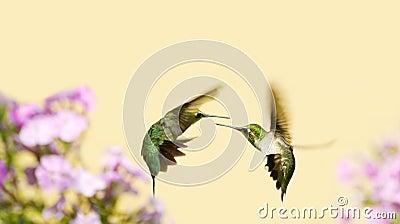 Hummingbirds fighting.