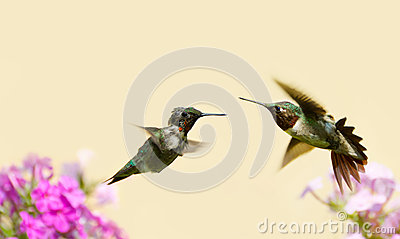 Hummingbirds fighting.