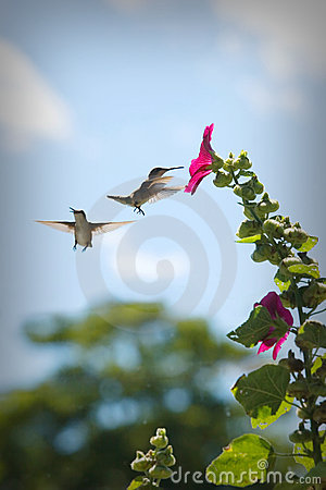 Hummingbirds at a Flower