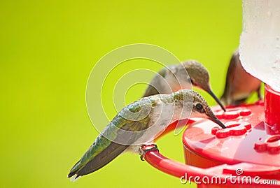 Hummingbirds home for dinner