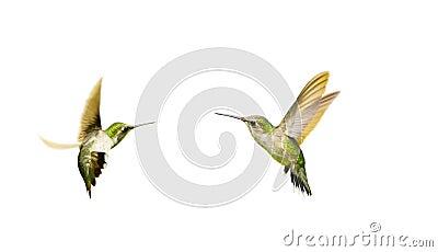 Hummingbirds, isolated.