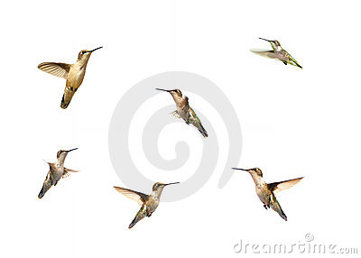 Hummingbirds in motion on white.