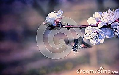 Hummingmoth pollinate a flower