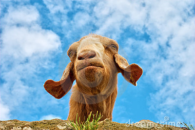 Humorous portrait of a goat