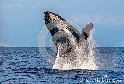 Hump back whale