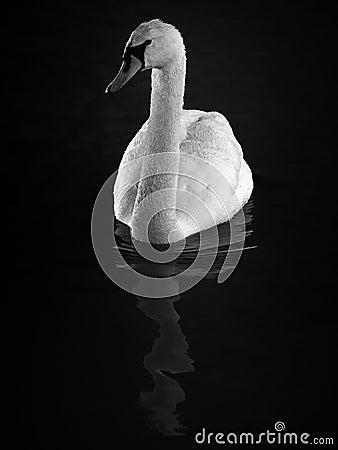 Hump Swan