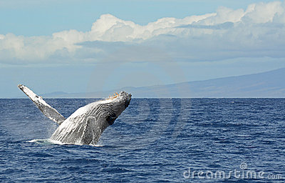 Humpback breaching in Maui