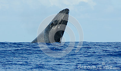 Humpback spyhopping