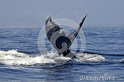 Humpback tail 2