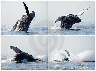 Humpback whale series breaching