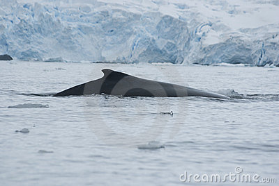 A humpback whale in the Southern Ocean-3.
