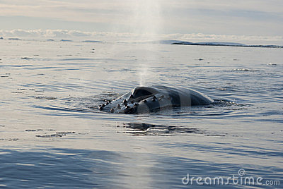 A humpback whale in the Southern Ocean-6.