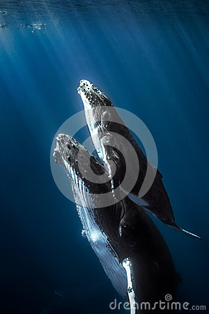 Free Humpback Whales Royalty Free Stock Images - 42289239