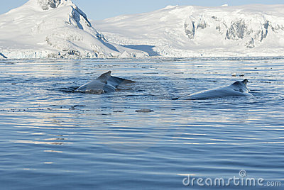 Humpback wieloryb dwa